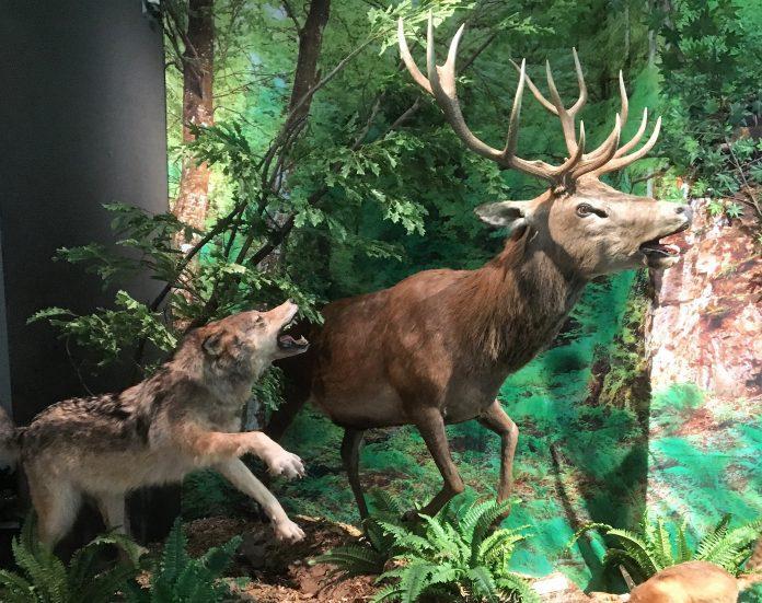 Südsauerlandmuseum Attendorn - wolf und hirsch