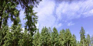 Sauerländer Tanne - Forst im Sauerland - Forstamt Kurköln