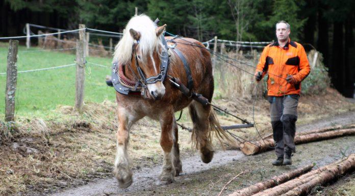 Ein PS auf vier Beinen – Holzrückepferd Heidi überzeugt mit Wendigkeit und Kraft