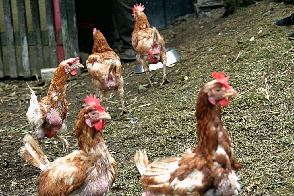 Hennen im Sauerland