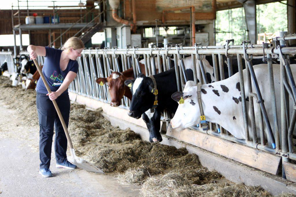 Landwirtschaft, Kühe